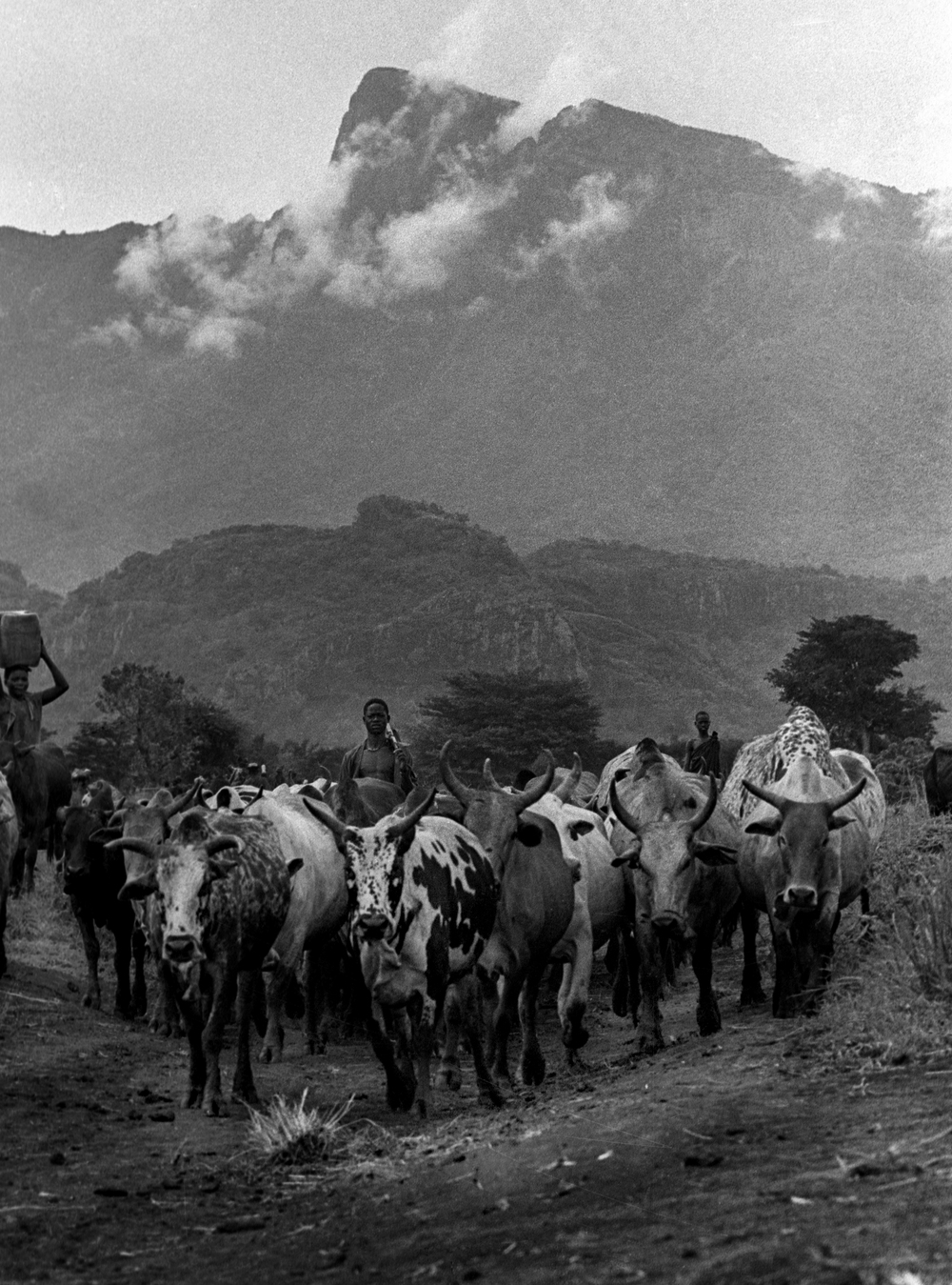Karamojong cattle, Namalu, Uganda