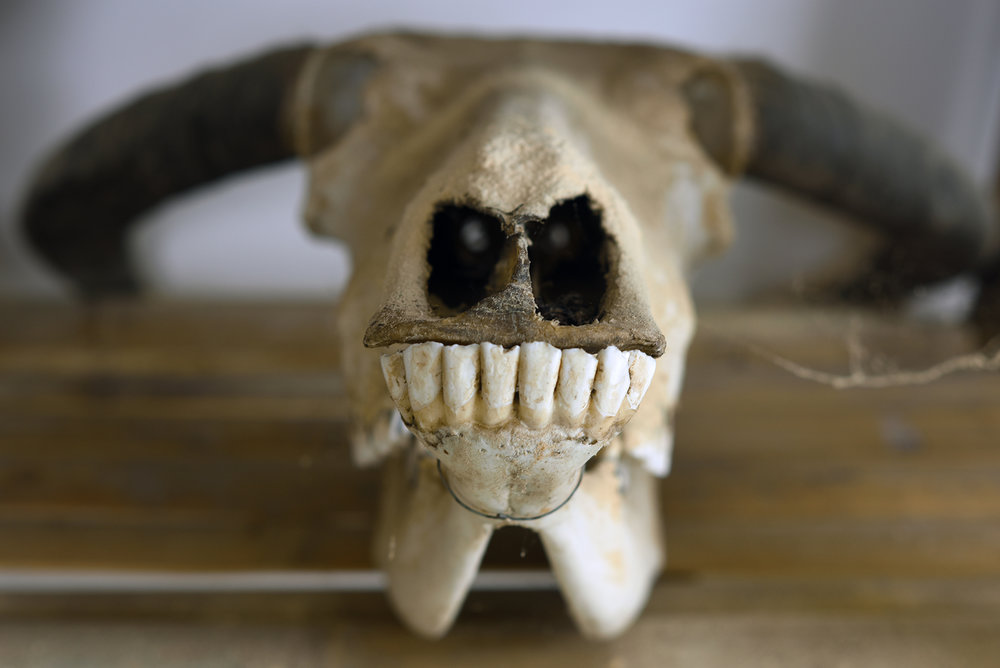 Ox skull used for sacrifice ceremony, on display in a small museum in Dayangjie town, 2017.