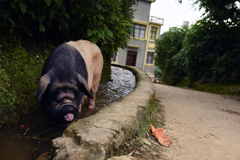 country PIG.jpg