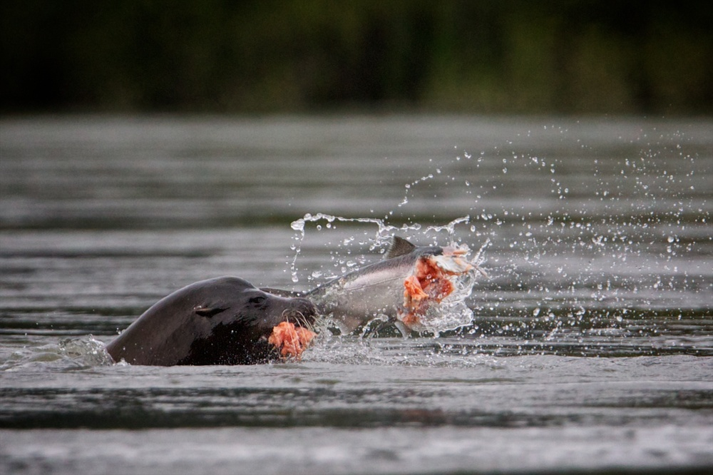 A sea-lion feasts on a salmon.  Thomas Boyd/The Oregonian