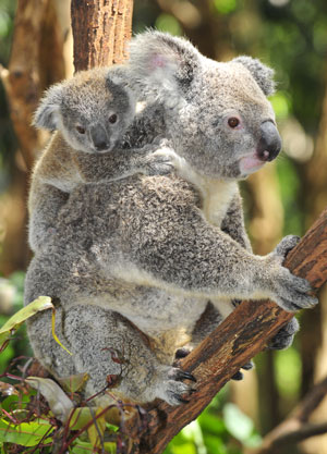 Koala_GumTree.jpg