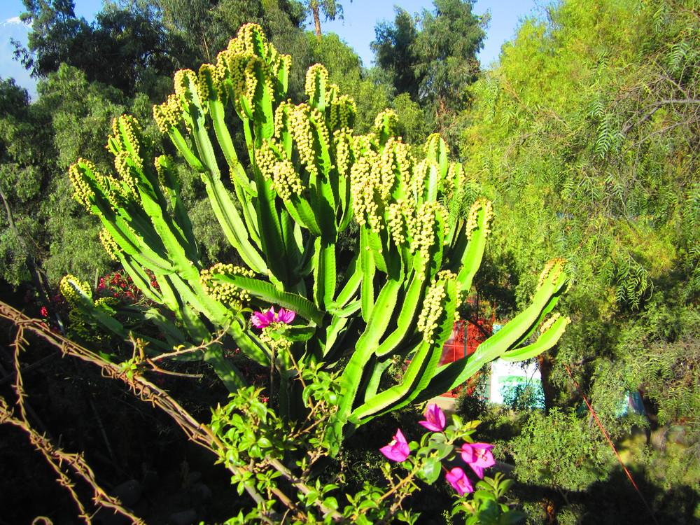 Lush green cactus in Arequipa, Peru