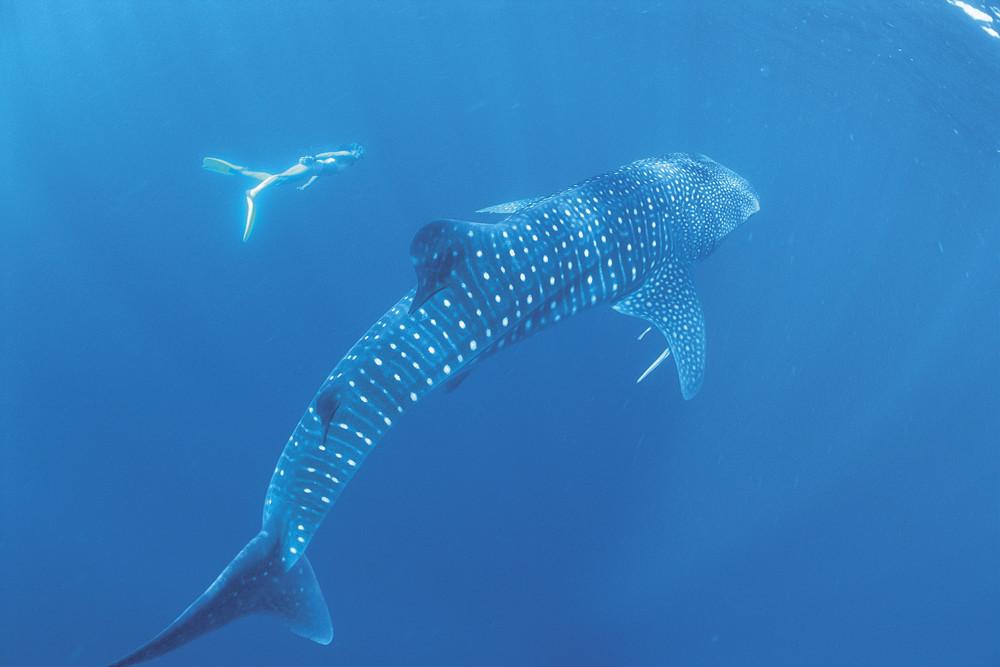 Whale Sharks, Ningaloo Reef, Western Australia