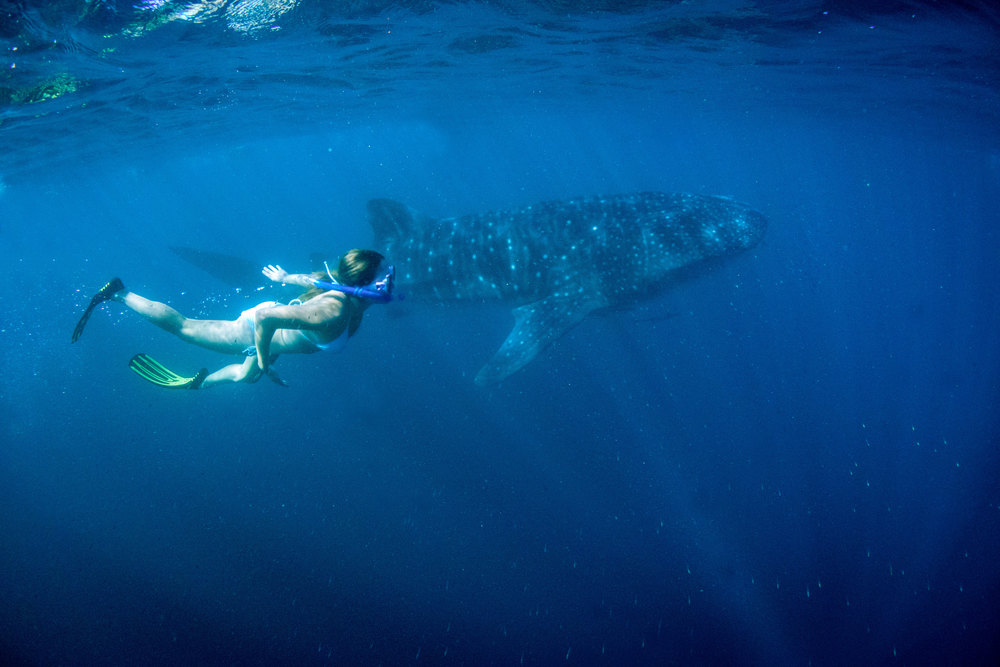 Walhai am Ningaloo Reef ©Tourism Western Australia.jpg