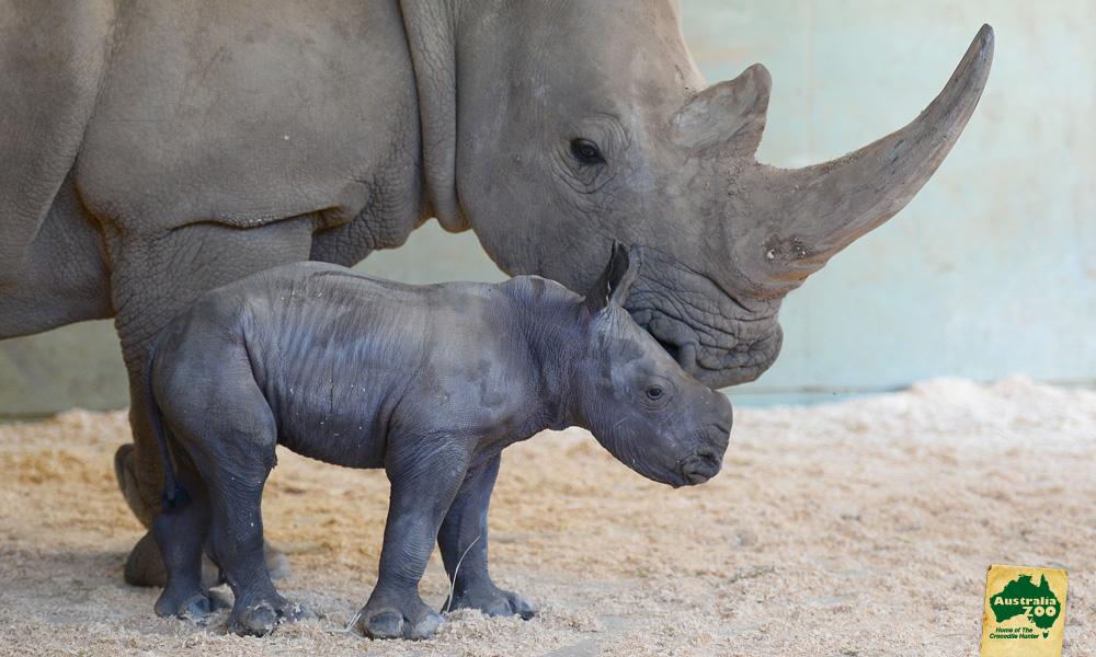 2963B_BabyRhino-Oct2015_AustraliaZoo.jpg