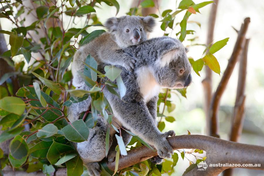 koala & joey.jpg