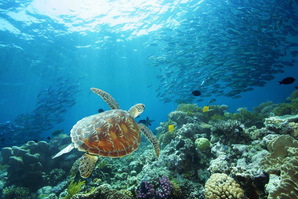 Poseidon_Turtle_Agincourt_Reefs.jpg