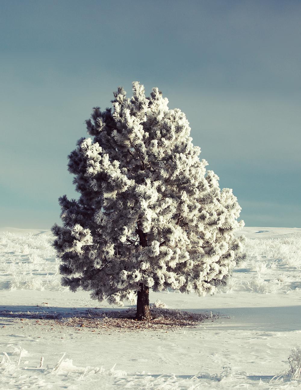 Hoarfrost grips a pine tree in Montana near Havre.  → Buy a Print