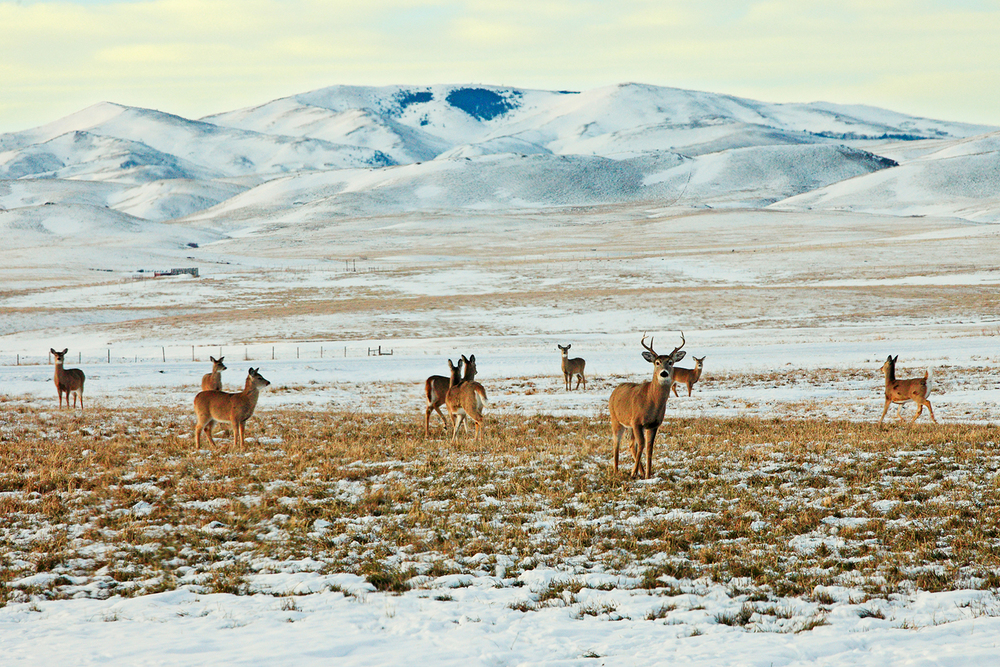A herd of whitetail deer frolic in an open field south of Chinook, Montana.   → Buy This Print