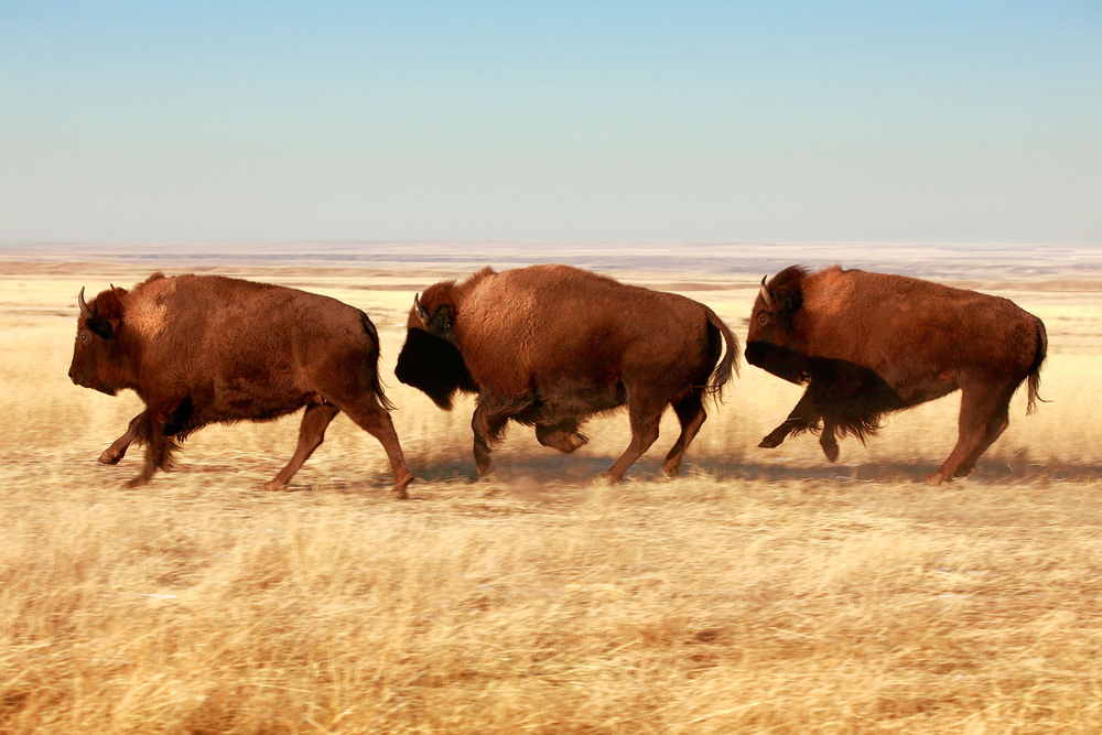 While it is technically true buffalo are not buffalo (they are bison), most Montanans don't really care.      → Buy This Print