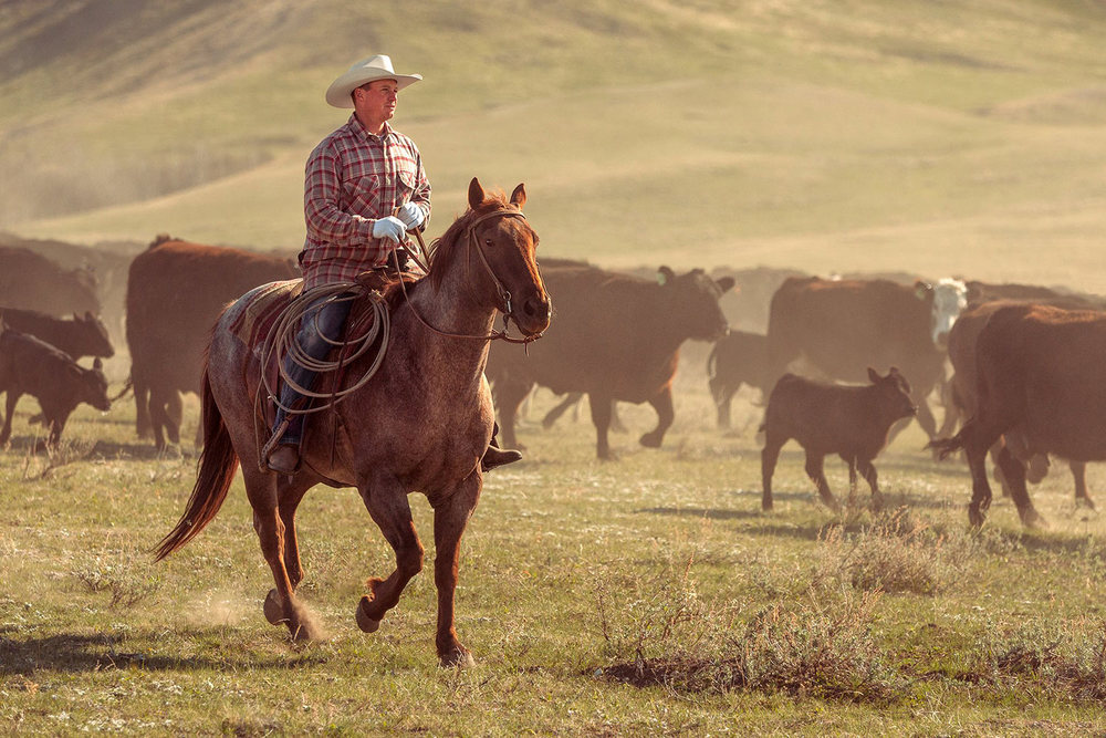 A cowboy rides his horse along side a herd of cattle during a cattle drive on a ranch near Cleveland, Montana.   → License Photo