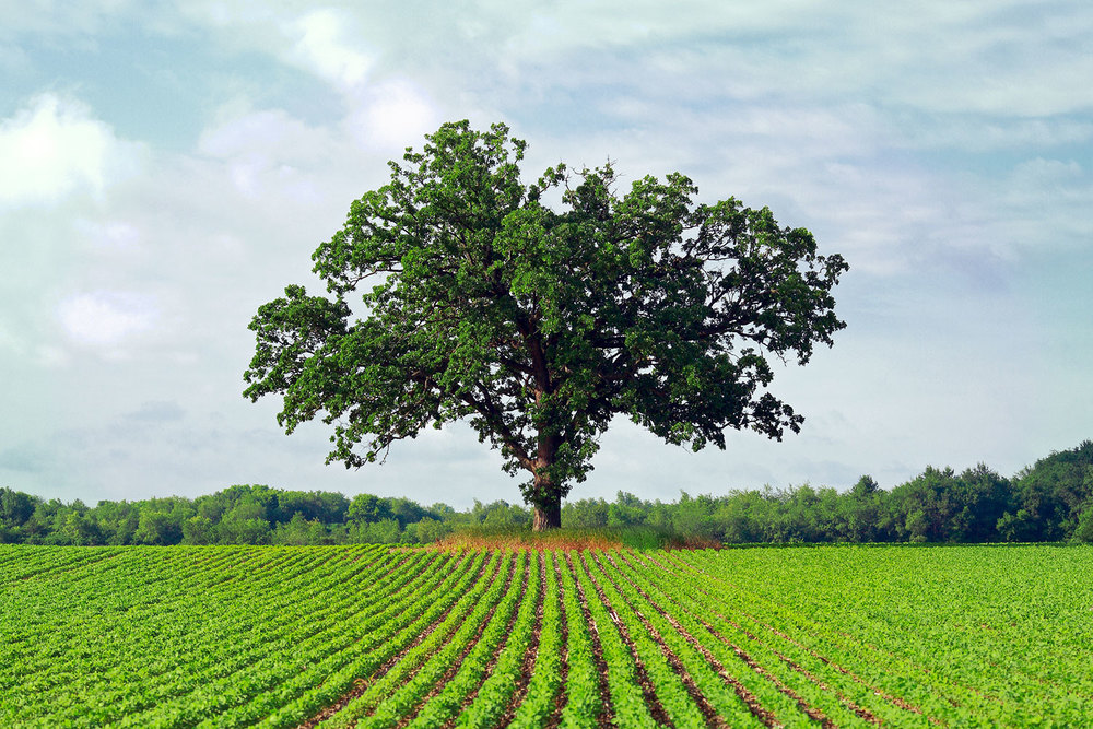 A big oak tree stands guard over a farmer's field. → Buy a Print
