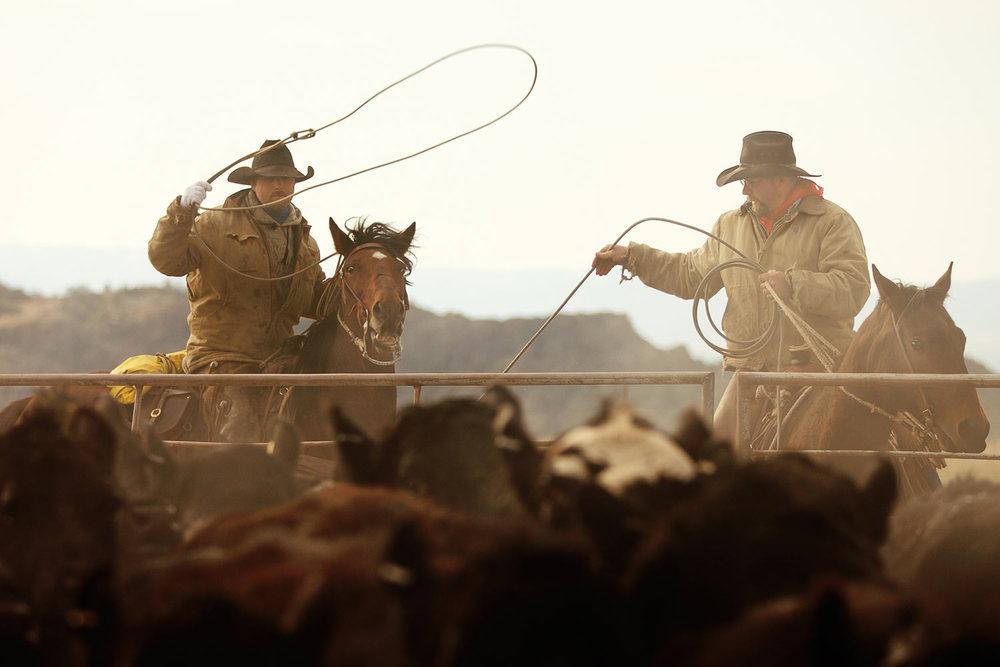 A couple of Montana cowboys roping cattle as steam rises from the animals in the corral near Cleveland, Montana.   → License Photo