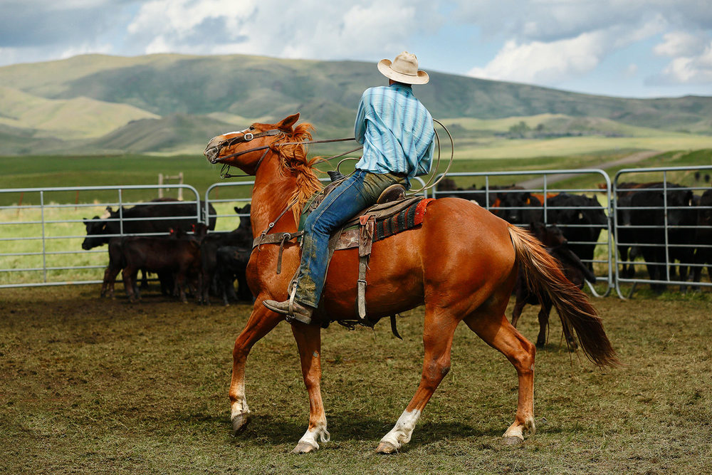 A cowboy makes a tight turn inside the corral on a western ranch.   → Buy a Print