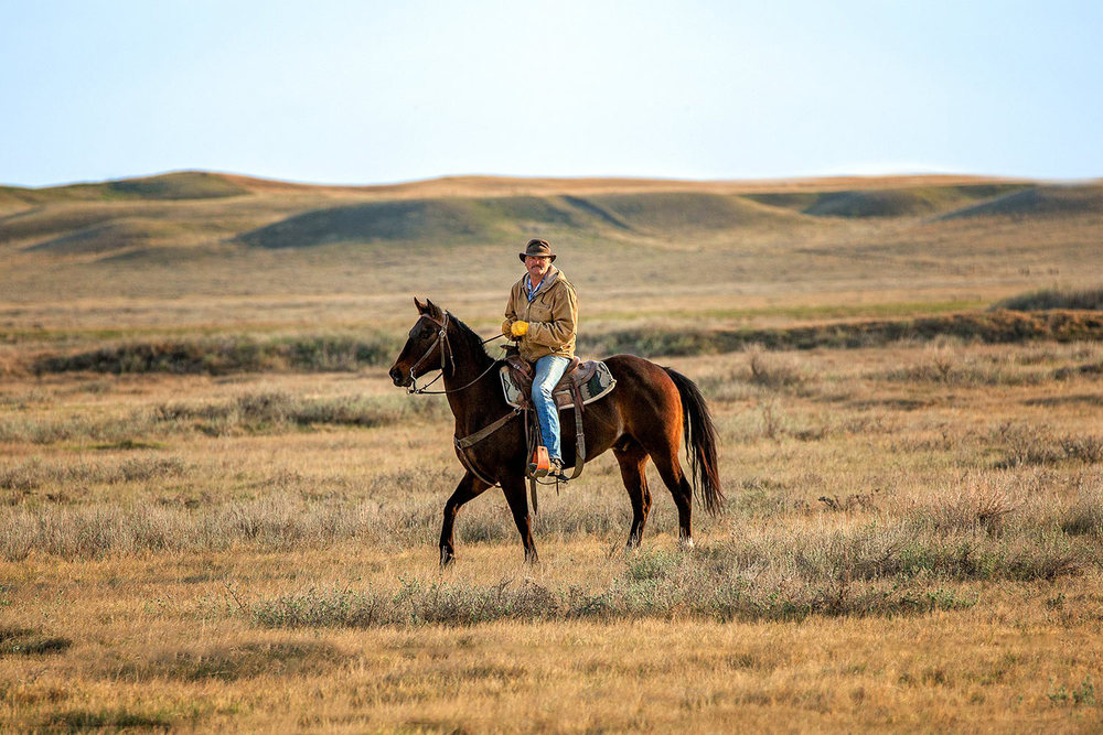 A cowboy riding his horse during a roundup on a ranch near Havre, Montana.   → License Photo