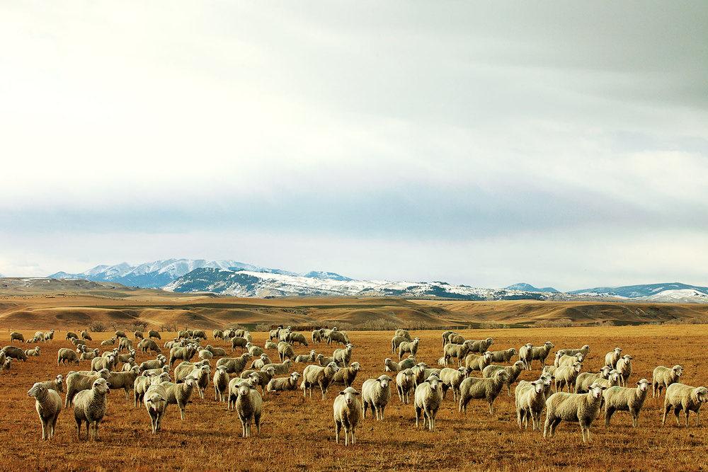 A herd of prairie maggots near Harlowton, Montana.
