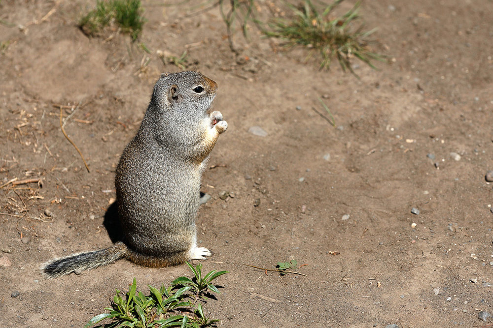While technically not slang, many Montanans refer this critter as a gopher even though it is really a ground squirrel. But please, whatever you do, don't correct them. They know they aren't technically gophers and they don't need to be corrected.