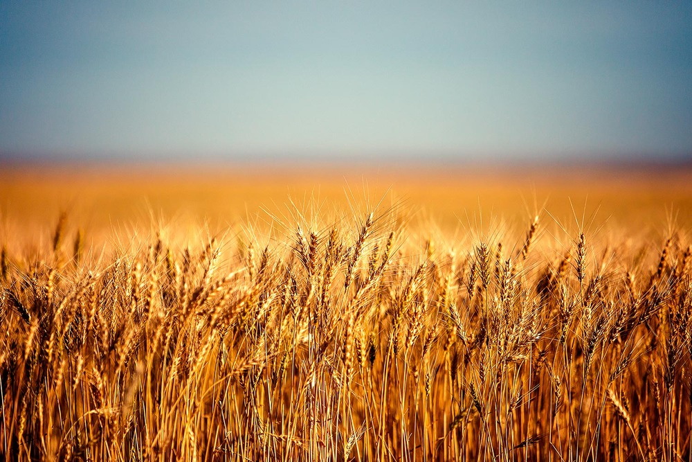 A field full of golden, ripe wheat south of Chinook, Montana.   → Buy a Print