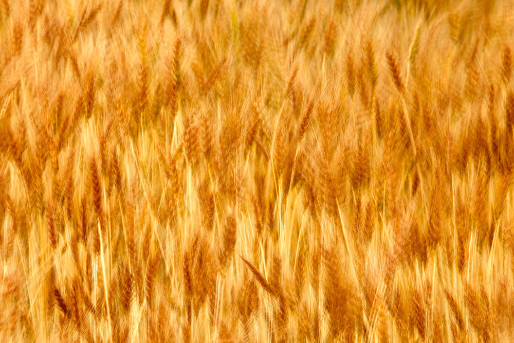 Golden Waves of Grain
