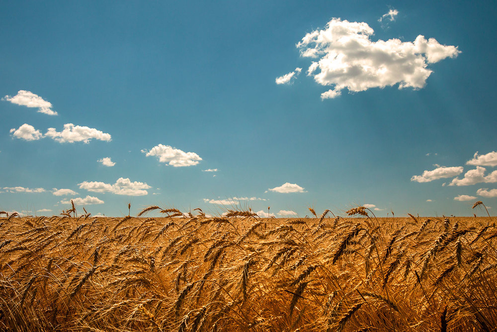 Wheat and Clouds