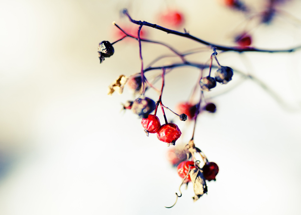 Winter's Berries