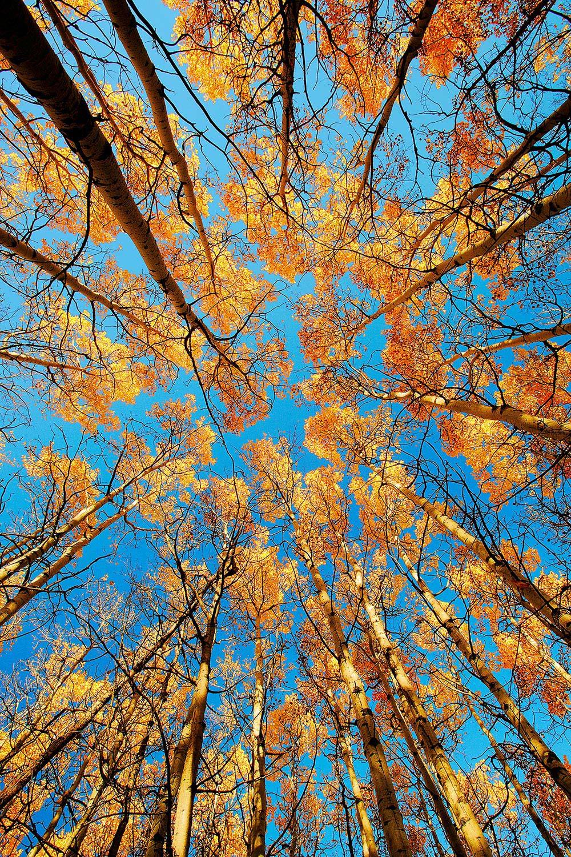 Aspen Filled Sky