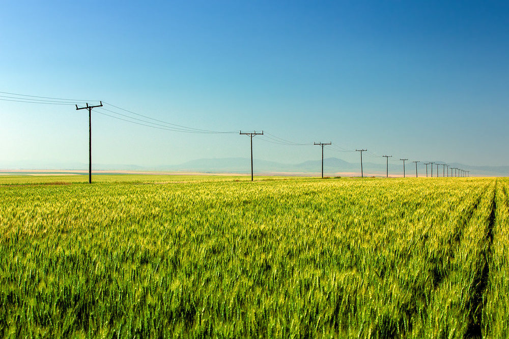 A row of electric utility poles line the edge of a large field of wheat northeast of Great Falls, Montana .      → Buy a Print