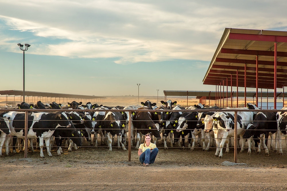 A young woman is surrounded by a herd of curious Holstein cows on a dairy farm near Connell, Washington.