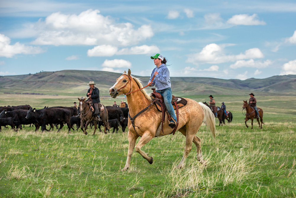 A cowgirl rides flank along the side of the herd while rounding up cattle on a ranch near Lloyd, Montana. → License Photo