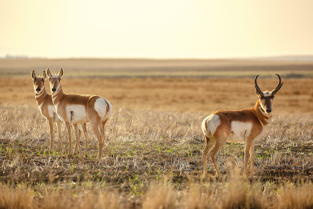 Two pronghorn antelope does and a buck pose in the middle of a field on the plains near Rudyard, Montana.     → Buy a Print