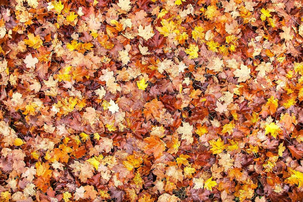 A colorful bed of red, orange, and yellow autumn leaves moistened by the morning dew.     → Buy a Print