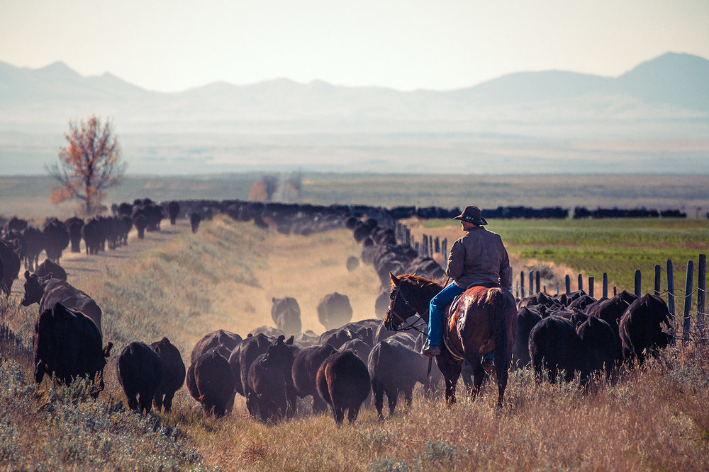 A cowboy trailing a herd of black Angus cattle while driving cattle down a quiet country road near Chinook, Montana.   → License Photo