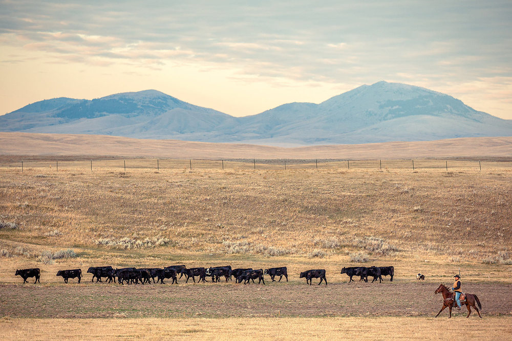 A rancher pushing a long line of black Angus cattle with the Bear Paw Mountains looming in the distance near People's Creek at Fort Belknap Reservation in Montana.