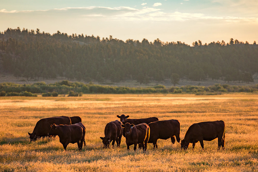 A herd of black Angus cattle huddle together in a pasture of grass early in the morning near Grass Range, Montana. → License Photo