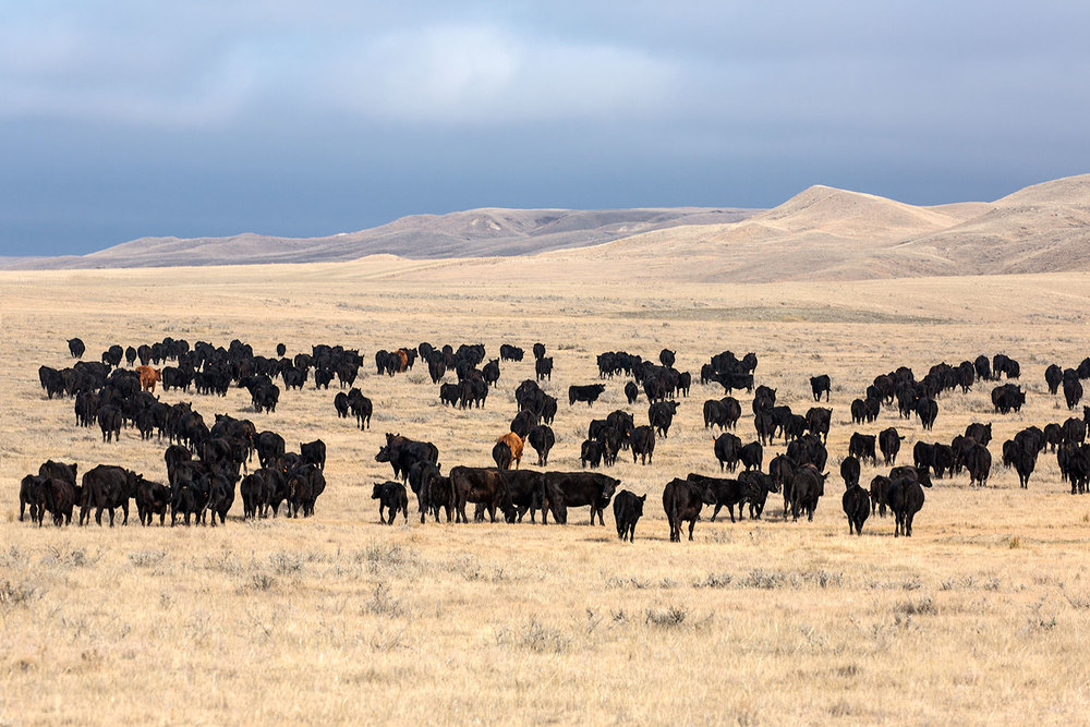 Herd on the Plains