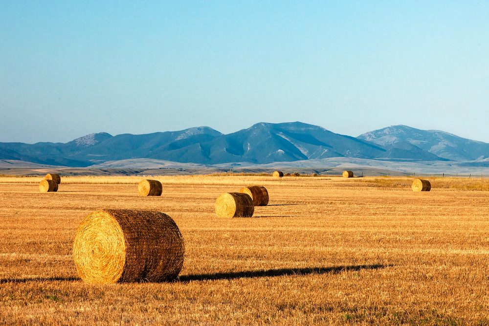 Bales of wheat straw are painted gold by the morning sunlight with the Highwood Mountains in the distance near Arrow Creek, Montana.     → License Photo