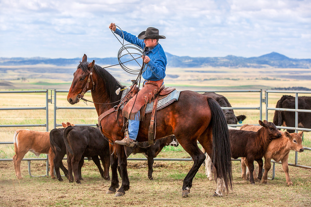 A cowboy pulls the rope tight while roping cattle on a ranch in rural Blaine County, Montana.  → License Photo