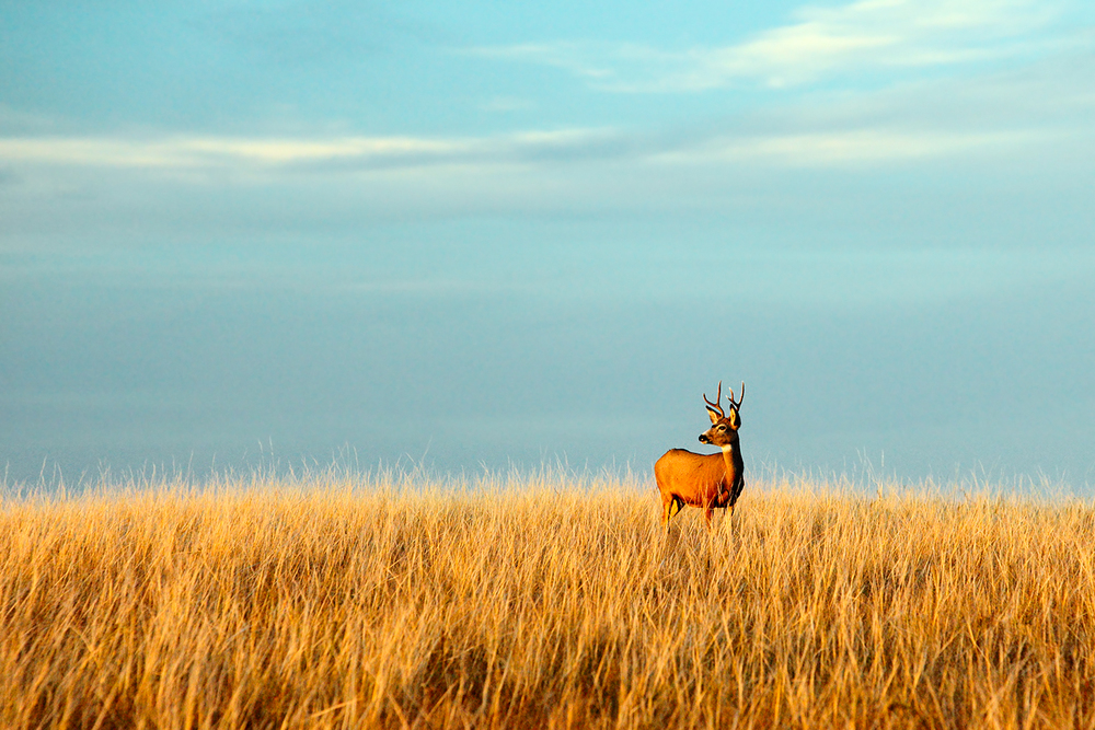 Fort Peck Buck