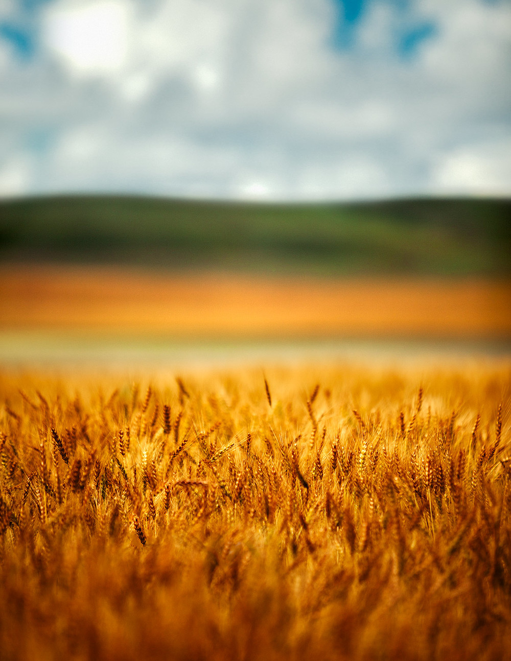 A multi-layered landscape of golden barley and wheat outside of Belt, Montana.   → Buy a Print