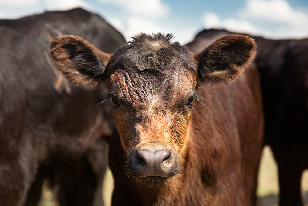 A beautiful young black Angus calf looks into the camera on a sunny day on the ranch.   → Buy a Print