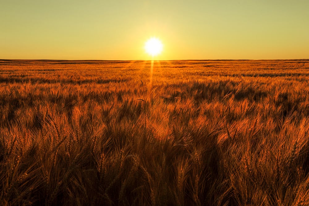 Red Sky Wheat