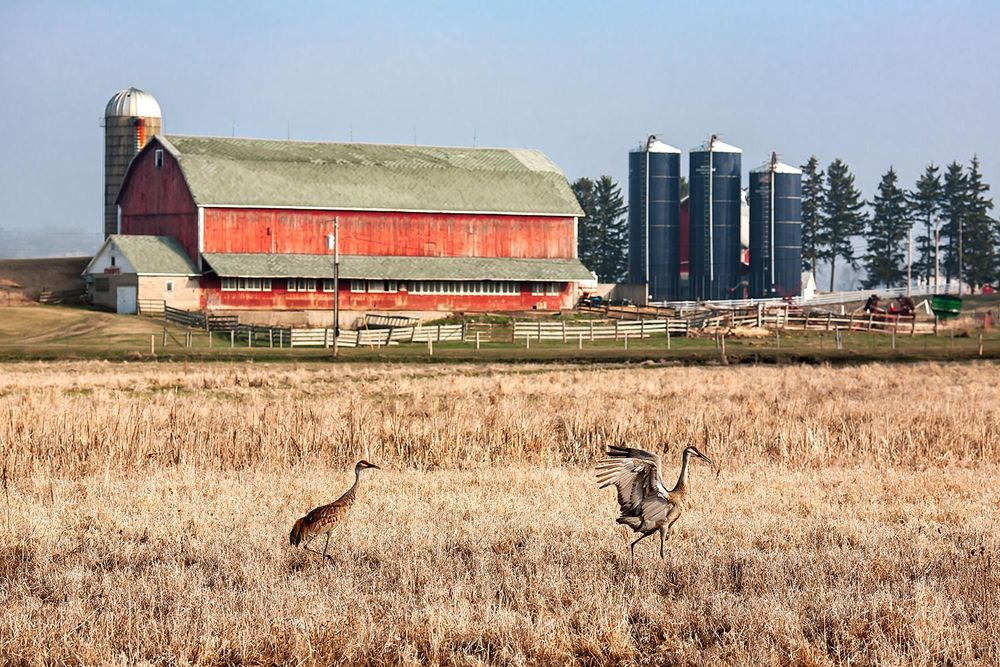 Swiss Cranes