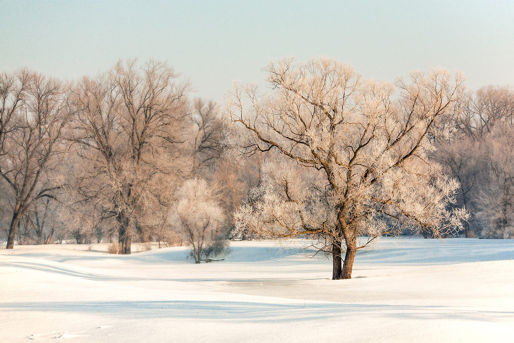 A grove of frost covered trees on a cold, wintry landscape. → Buy a Print or License Photo