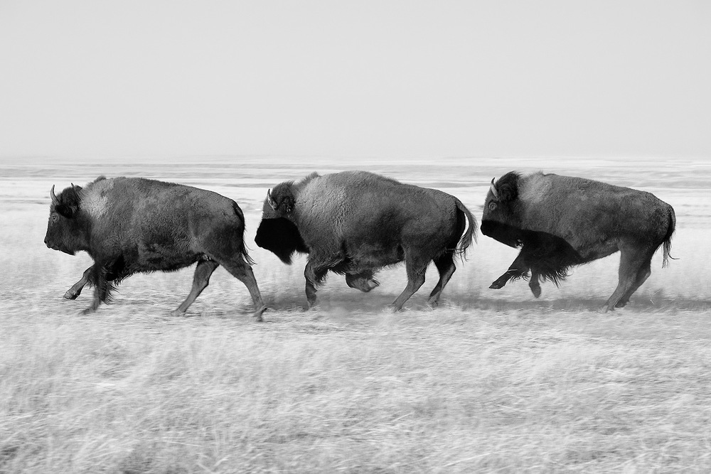 Three bison (or buffalo as they are known locally) dash across the open prairie in front of me on the Fort Belknap Indian Reservation in Montana. → Buy a Print or License Photo