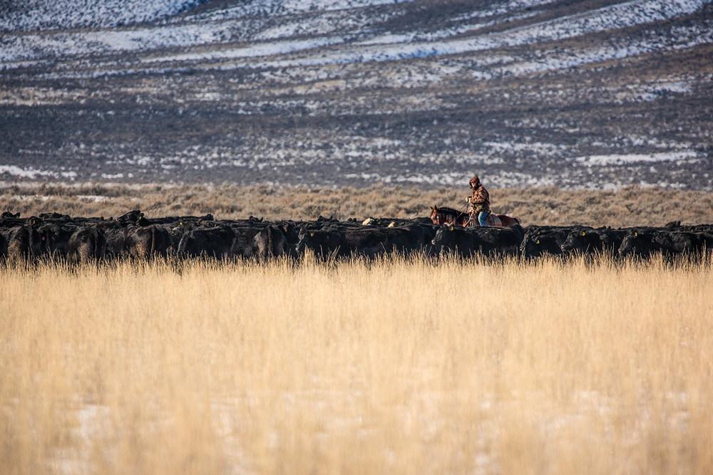 Long Line of Livestock