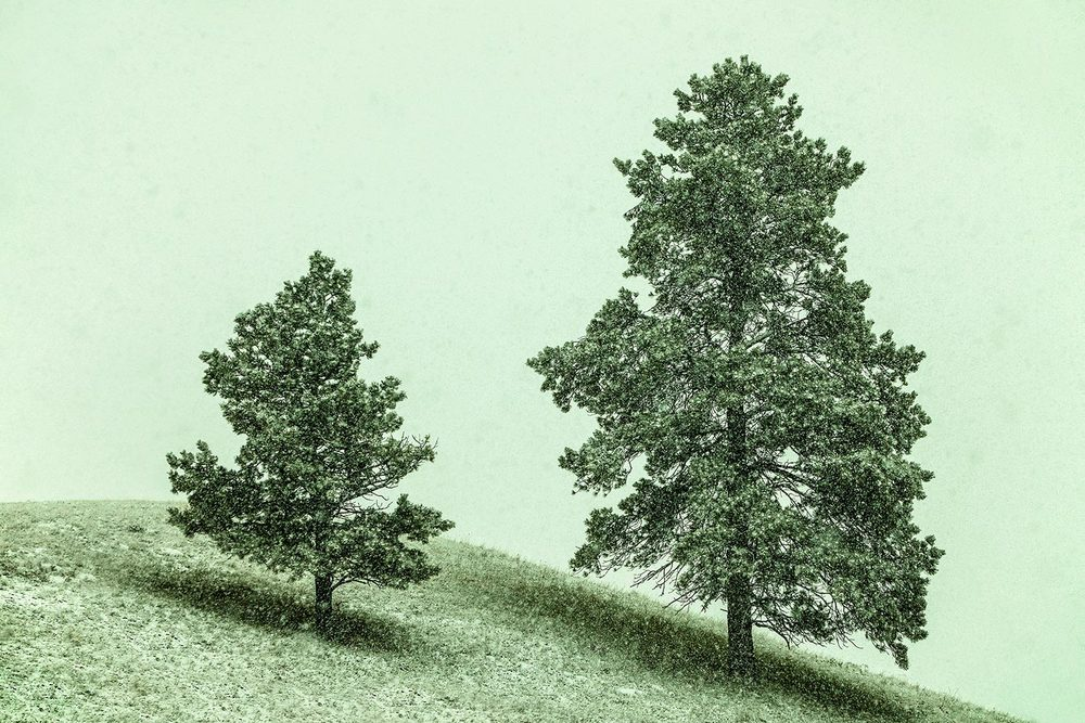 Two trees on the side of a hill in the midst of the snow on the Rocky Boy Reservation in Montana.      → Buy a Print