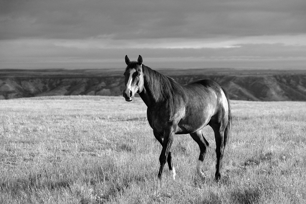 A beautiful, spirited horse trotting across the grassy Montana plains near Havre, Montana.     → Buy a Print