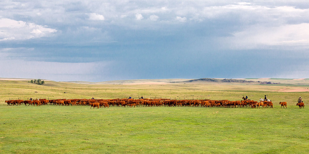 Line of Red Angus