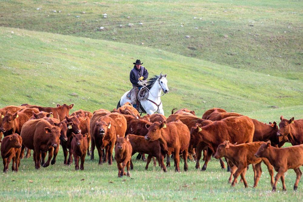 Cowboy Herding Red Angus