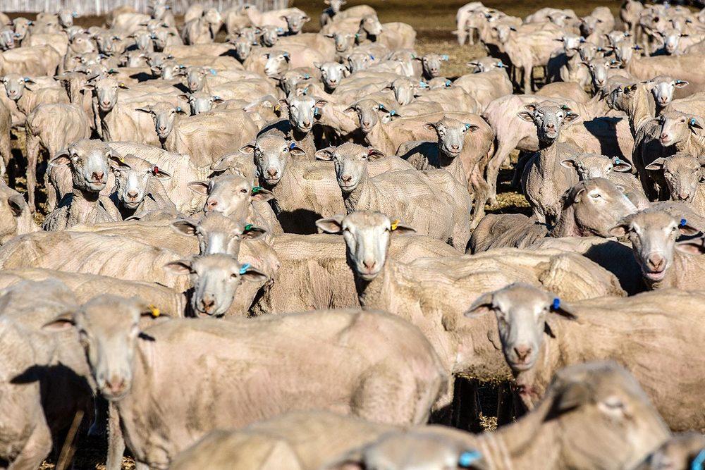 Sheep Sheared